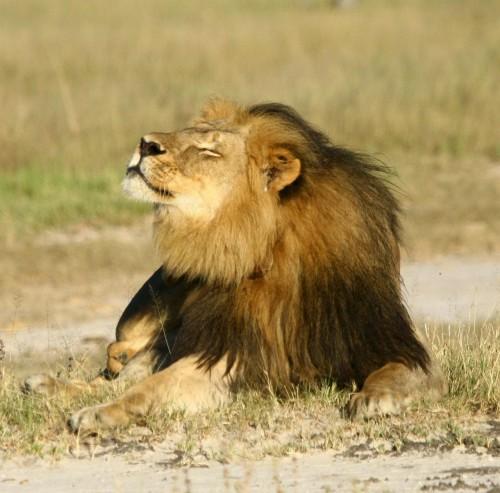 Macho dominante do parque que se destacava por sua juba preta pouco comum, Cecil era alvo de uma pesquisa científica sobre a longevidade dos leões da universidade britânica de Oxford, que o equipou com um colar de localização. (Foto: Corey Perrine/AP)