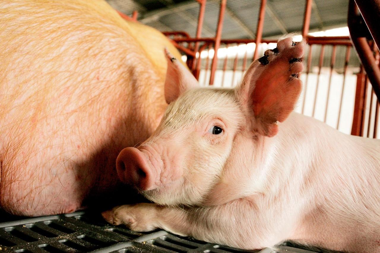 Carne suína, risco de aftosa