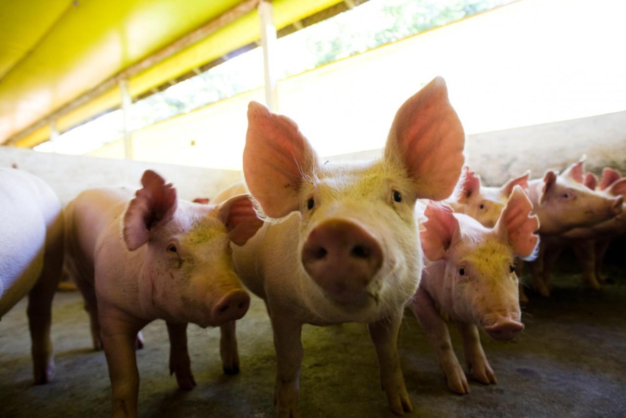 Dia do Porco em Palmitinho/RS