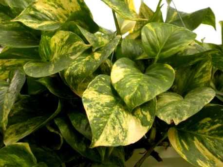 É uma planta folhosa bem popular e fácil de ser obtida. (Foto: Reprodução)