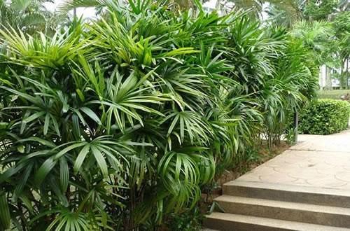 Palmeira-dama, também conhecida como palmeira-ráfis, pode chegar a 3 metros de altura. (Foto: Reprodução)