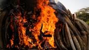 O ato foi simbólico para o fim da caça ilegal de elefantes.  (foto: reprodução)
