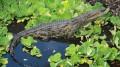Um dos três crocodilos-do-nilo foram encontrados em um pântano da Flórida. (Crédito: Reprodução)
