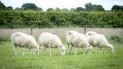 Ovelha Dolly faleceu em 2003; clones Debbie, Denise, Dianna e Daisy estão bem  (Foto: reprodução)