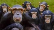 """Pesquisa  aponta que primatas reduzem em até 50% o tempo dedicado aos """"amigos"""" com o passar dos anos.  (Crédito: Reprodução)"""