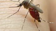 Mosquito Aedes aegypti é transmissor da zika, dengue e chikungunya. (Foto: Divulgação/ Uenf)