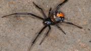Aranha da espécie redback spider que atacou o rapaz. (Crédito: Reprodução)