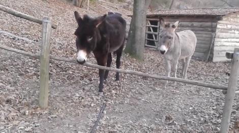 Atitude curiosa do burro Oreste viraliza na internet (foto: reprodução/Facebook).