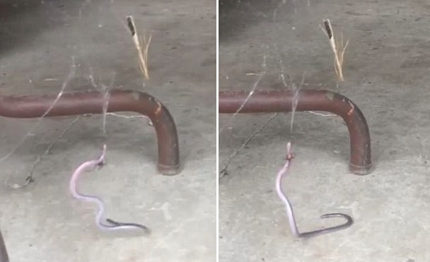 Filhote de cobra fica presa em teia de aranha e morre (foto: reprodução/Facebook).