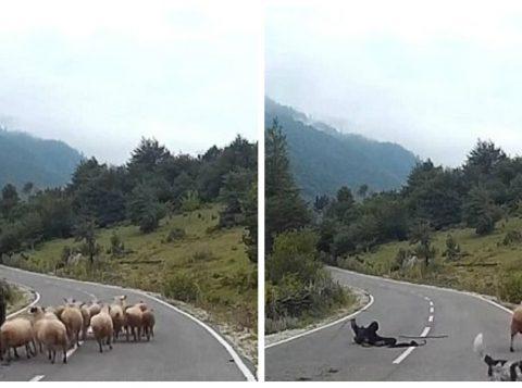 """Depois de """"atropelada"""" pelos animais, uma das ovelhas ainda lhe daria uma violenta cabeçada (foto: reprodução/YouTube)"""