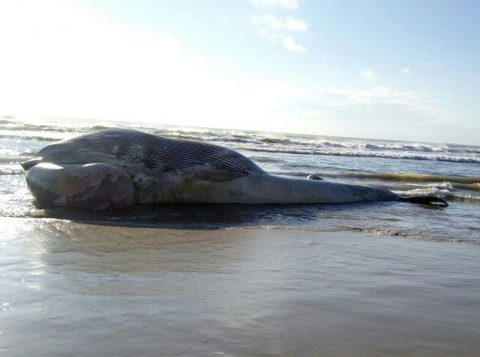 Animal pesa cerca de 40 toneladas (Foto: Comando Ambiental da Brigada Militar/Divulgação)