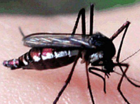 Mosquito haemagogus janthinomys, um dos transmissores febre amarela. (Foto: Reprodução)