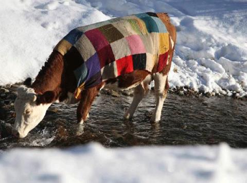 Contra frio, dono cobre vaca com colcha de retalhos no Kosovo. (Foto: Hazir Reka/Reuters)