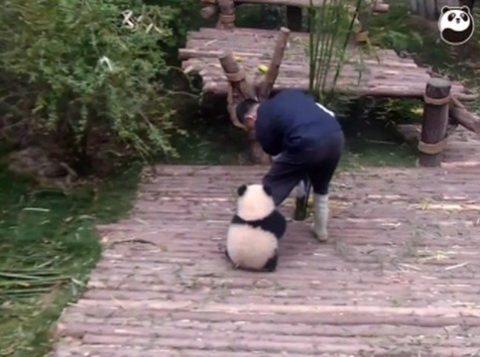 Panda Qi Wi não larga perna de tratador. (Foto: BBC)