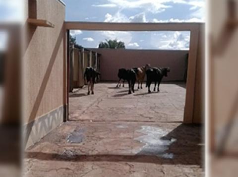 Vacas andaram até motel após acidente com caminhão na MT-130. (Foto: Reprodução)