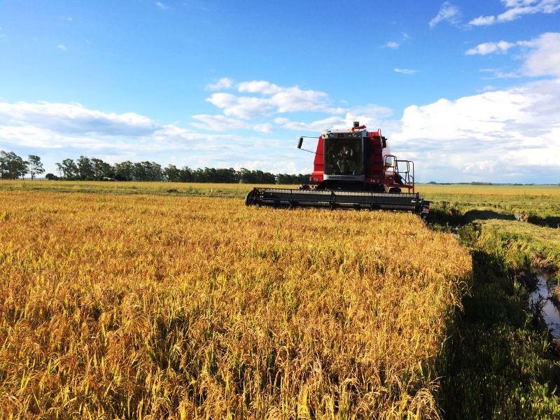 Fronteira Oeste é a região que está com a colheita mais avançada. (Foto: Irga/Divulgação)