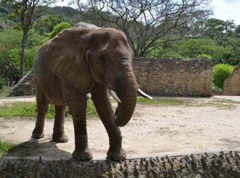 Elefanta Ruperta recebe cuidado especial no zoo de Caricuao, na Venezuela. (Foto: Reprodução/Twitter/Inparques Oficial)