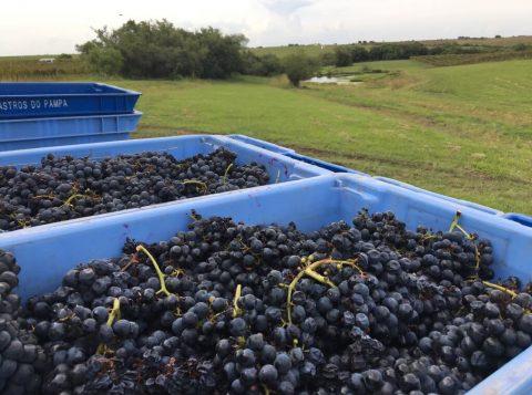 118 toneladas de oito uvas diferentes foram colhidas de janeiro até 17 de março. Crédito:  Gabriela Potter