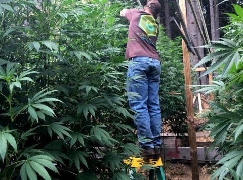 Fazenda de cannabis em Humboldt County, California. (Foto: Rory Carroll/Reuters)