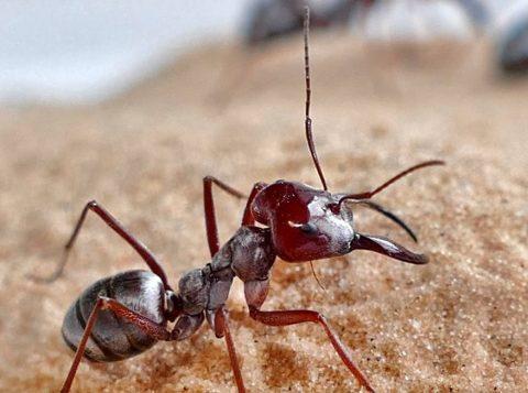 Formiga mais rápida do mundo é capturada pela primeira vez por cientistas da Alemanha