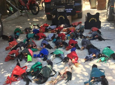 Mais de 40 galos são resgatados e 11 homens são presos suspeitos de participar de rinha no Ceará